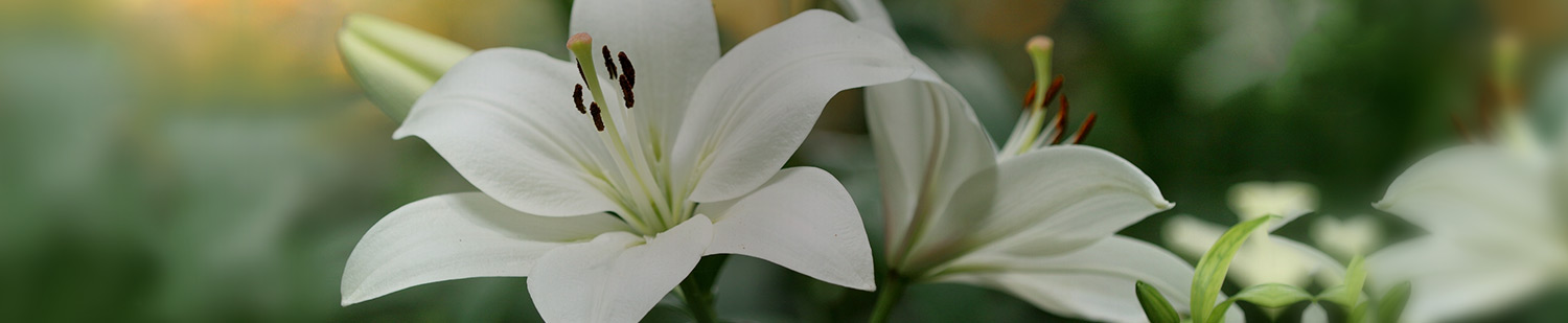 Lilium Catalogue 2020