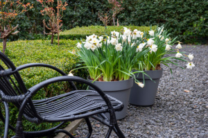 Contemporary white garden with flower bulbs