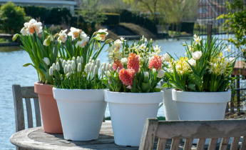 Flower bulbs for small balcony, garden, terrace or roof terrace