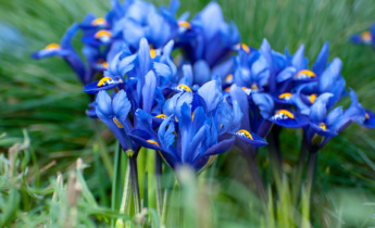 All about Iris as a flower bulb