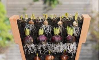 Lasagne Planting with Flower Bulbs