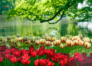Interesting facts about tulips