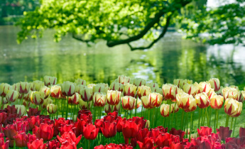 10 interesting facts about tulips
